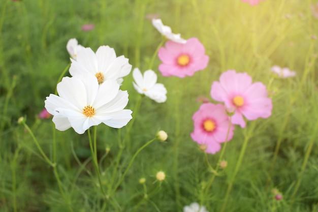Flores brancas e cor de rosa flor de cosmos