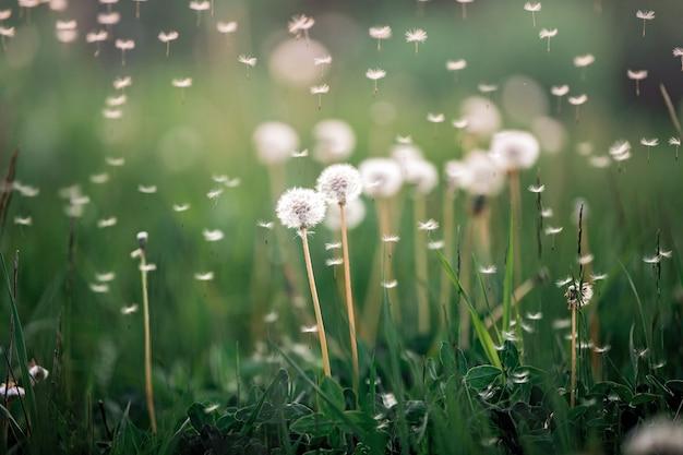 Flores brancas e fofas de dente de leão em um prado em close-up da natureza de verão com pára-quedas voando
