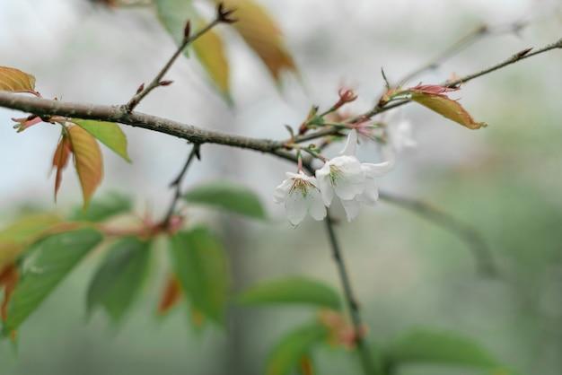 Flores brancas em fundo verde borrado espaço de cópia de conceito de primavera ou verão