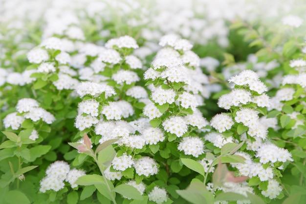 Flores brancas em galhos de árvores.
