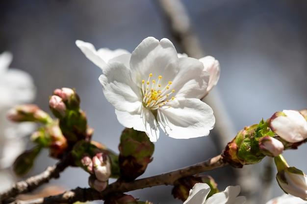 Flores brancas em uma árvore no jardim. fundo floral natural. sakura em flor, maio, junho. árvore frutífera florescendo