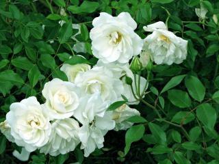 Flores brancas, flor