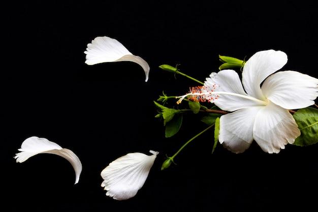 Flores brancas, hibisco, arranjo plano, plano, preto
