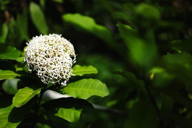 Flores brancas ixora com luz solar no jardim da natureza