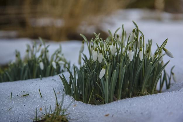Flores brancas lindas em forma de floco de neve em um terreno nevado - o início de uma primavera