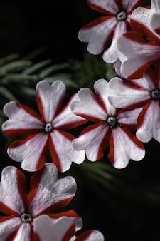 Flores brancas listradas