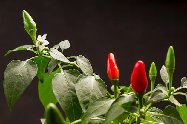 Flores brancas nos galhos, pólen nas folhas. vagens de pimenta vermelha e verde cultivadas em vaso.