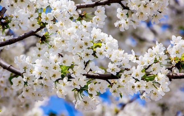 Flores brancas nos ramos de cerejas