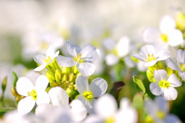 Flores brancas perto