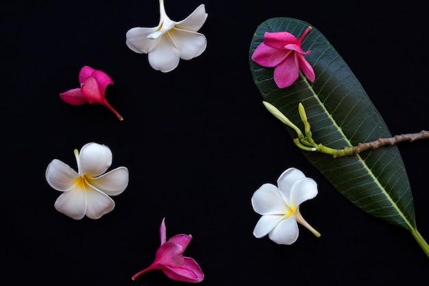 Flores brancas rosa frangipani arranjo estilo círculo em preto