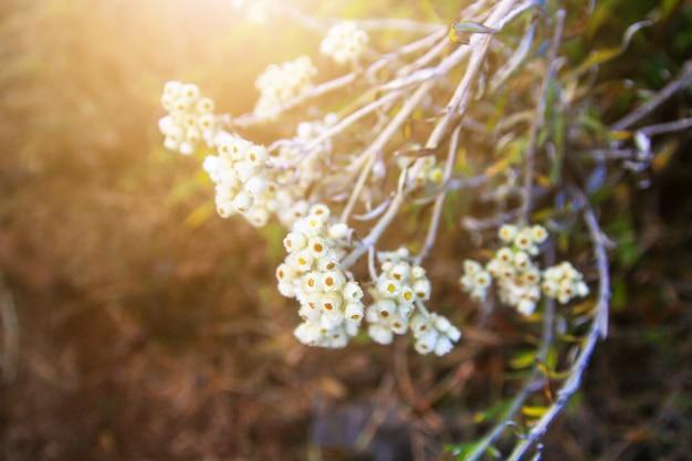 Flores brancas selvagens bonitas com luz solar na montanha.
