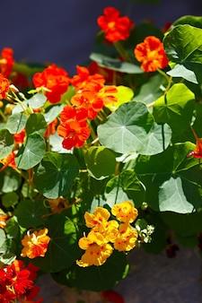 Flores brilhantes de capuchinha no canteiro do jardim.