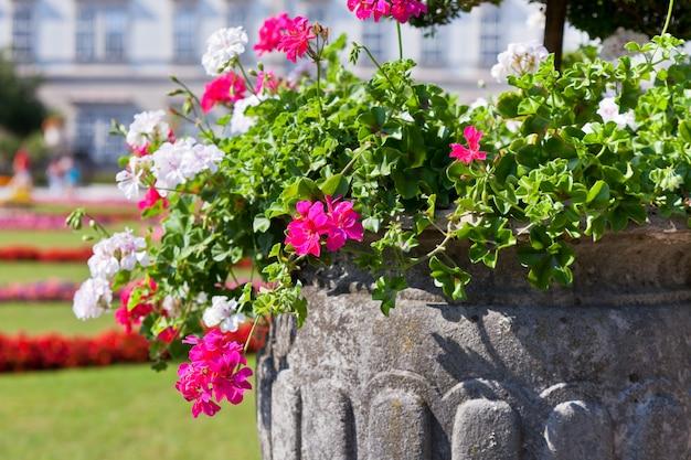 Flores brilhantes de heranium em panela de pedra antiga