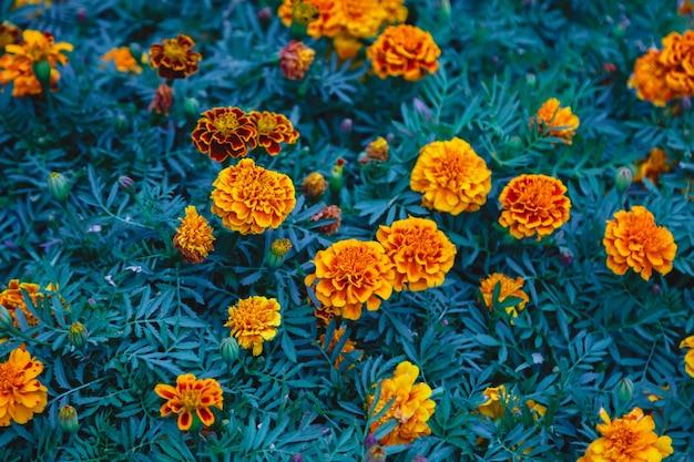 Flores brilhantes de malmequeres com folhas verdes. plano de fundo de flores close-up, vista superior. foco seletivo. design floral com espaço para criatividade. propriedades úteis do conceito de malmequeres. espaço de direitos autorais
