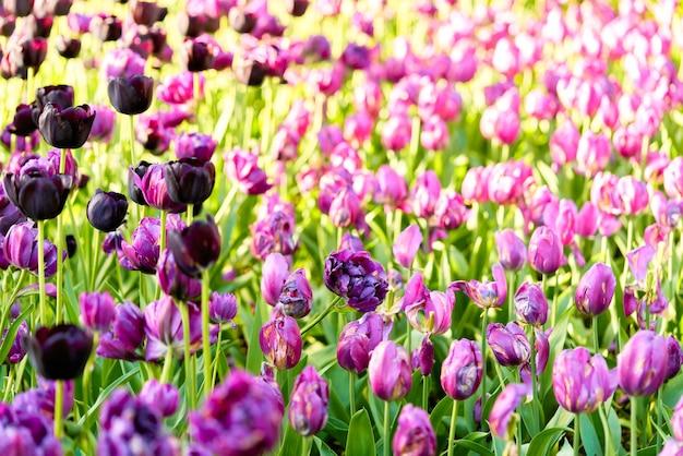 Flores brilhantes de tulipas em um campo de tulipas em uma manhã ensolarada