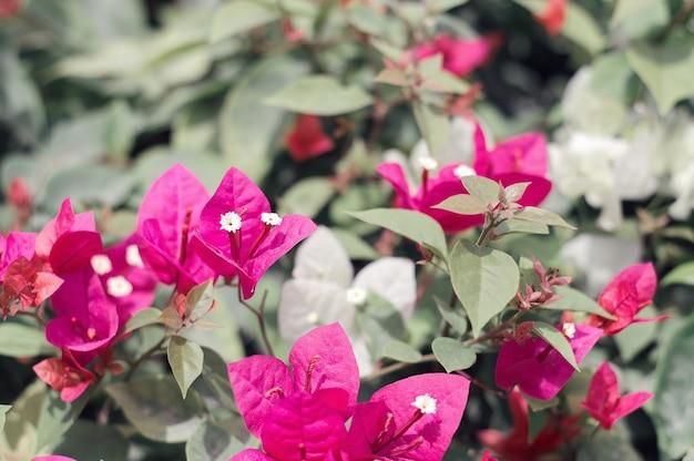 Flores buganvílias de cor roxa