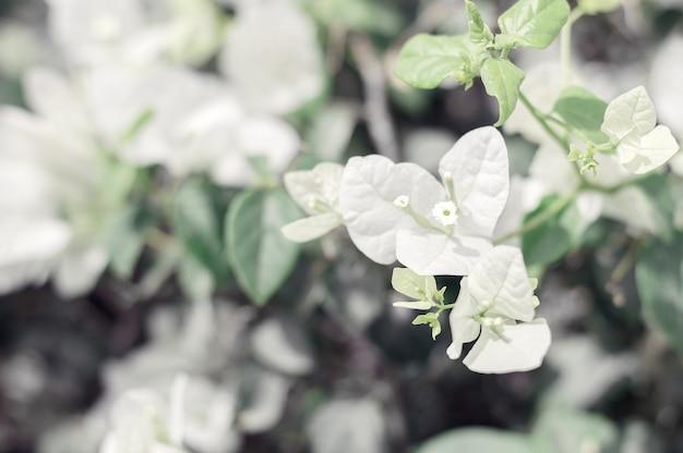 Flores buganvílias desabrochando