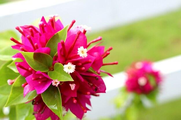 Flores buganvílias em tropical