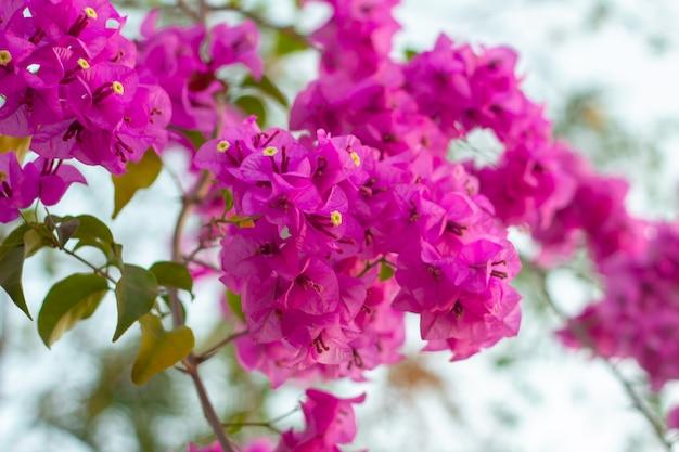 Flores buganvílias rosa