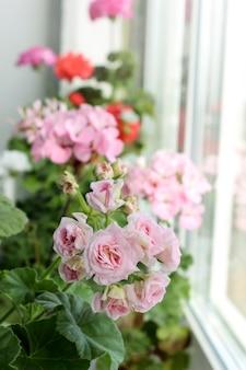 Flores caseiras de pelargônio florescem na janela.