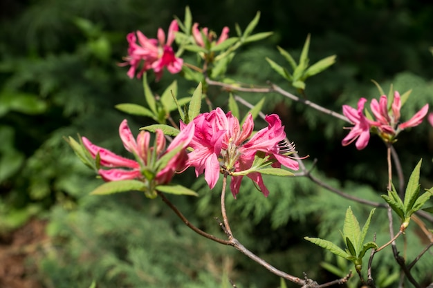 Flores coloridas bonitas do rododendro no jardim da mola. foco seletivo