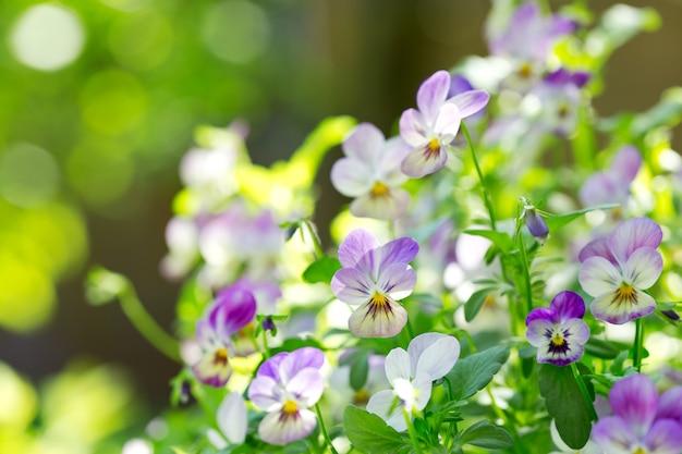 Flores coloridas de amor-perfeito crescendo no jardim