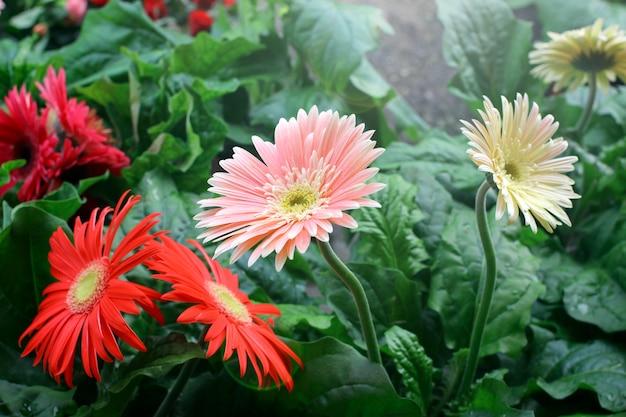 Flores coloridas do gerbera em um belo jardim.