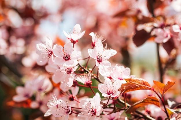 Flores cor de ameixa desabrochando em galho de árvore closeup