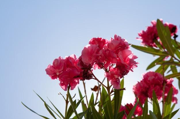 Flores cor de rosa atrás do céu azul na ilha de corfu, grécia. flores de oleandro rosa, céu azul atrás. copie o espaço para o texto. horário de verão.