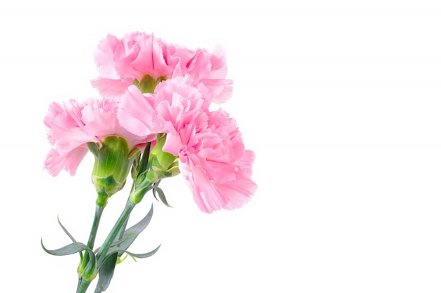 Flores cor-de-rosa bonitas do cravo no fundo branco