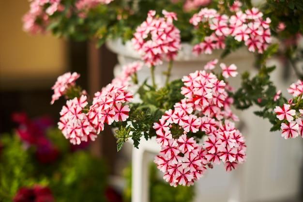 Flores cor de rosa brancas em um fundo verde pote pendurado na parede