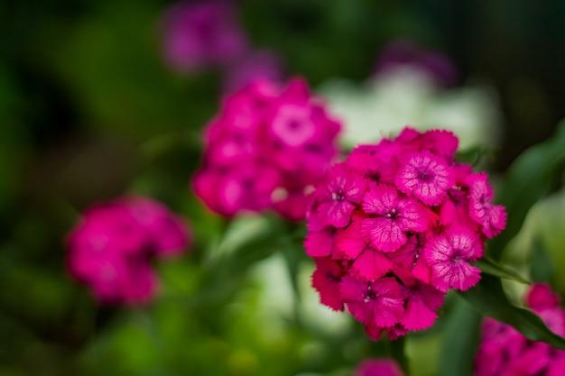 Flores cor de rosa brilhantes de um close de jardim em casa.