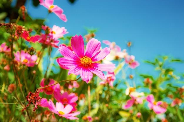 Flores cor de rosa com céu ensolarado.