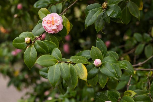 Flores cor de rosa, crescendo em galhos verdes com gotas