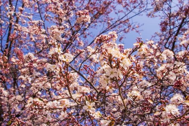Flores cor-de-rosa da ameixa e parte dianteira brilhante do parque de osaka-jo do fundo azul do céu. selecione o foco.