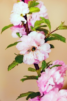 Flores cor de rosa de cereja japonesa em um fundo marrom claro