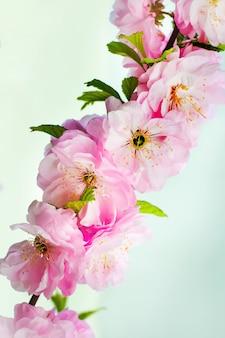 Flores cor de rosa de cereja japonesa em um fundo verde claro