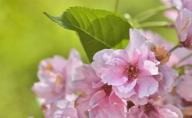 Flores cor de rosa de cerejeira na primavera