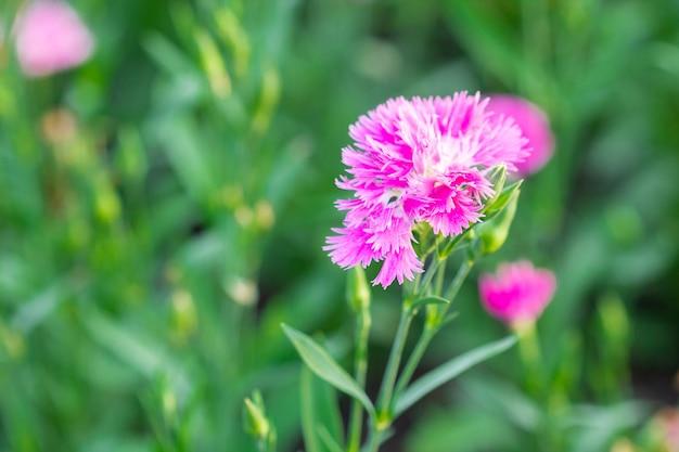 Flores cor-de-rosa de chinensis do cravo-da-índia no jardim.