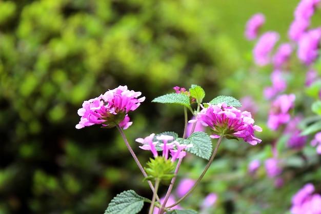 Flores cor-de-rosa de fireweed (epilobium ou chamerion angustifolium) em flor chá ivan