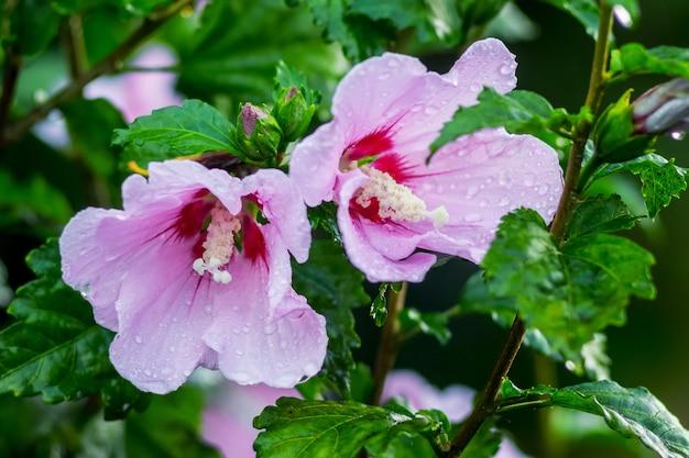 Flores cor de rosa de hibisco nos arbustos no jardim