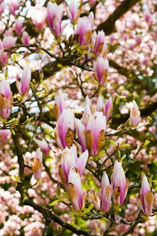 Flores cor de rosa desabrochando nos galhos da árvore