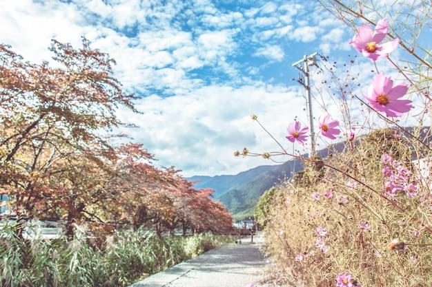 Flores cor-de-rosa do cosmos que florescem na estação do outono.