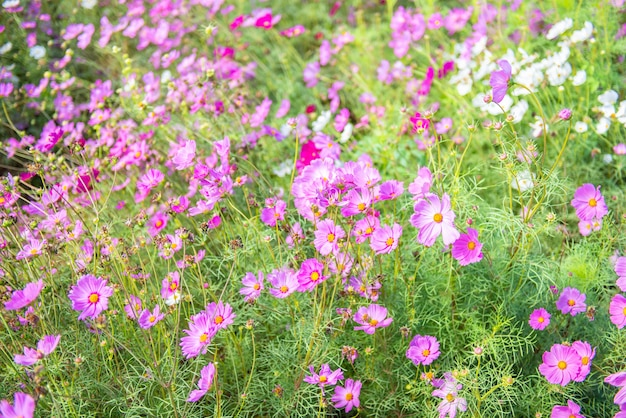 Flores cor-de-rosa do cosmos que florescem no jardim.