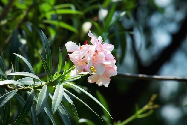 Flores cor de rosa e brancas com a luz solar.
