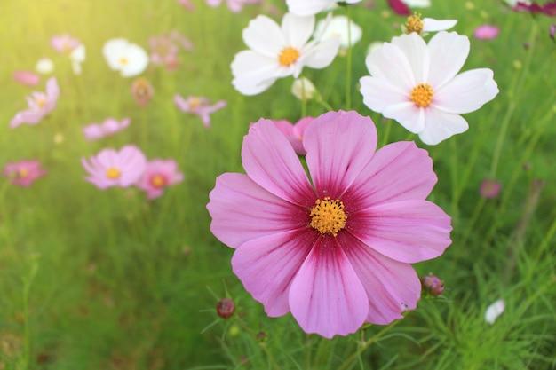 Flores cor-de-rosa e brancas do cosmos