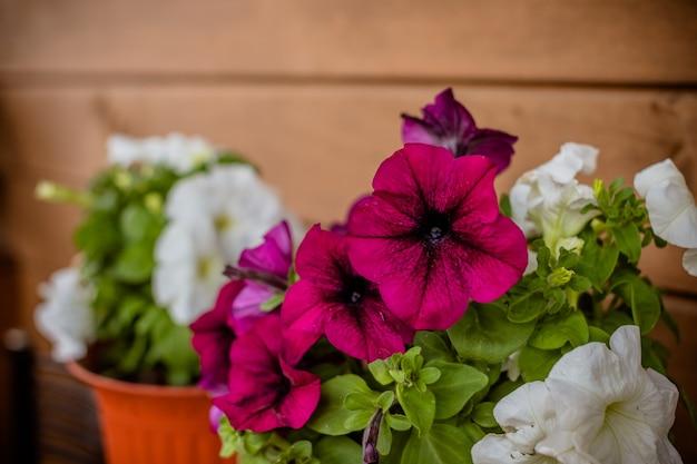 Flores cor de rosa e brancas. petúnia colorida, petunia hybrida no pote, decoração de varanda