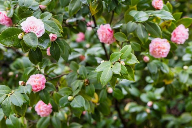 Flores cor de rosa em galhos verdes com gotas
