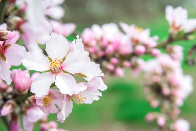 Flores cor de rosa, galho de amendoeira em flor na primavera
