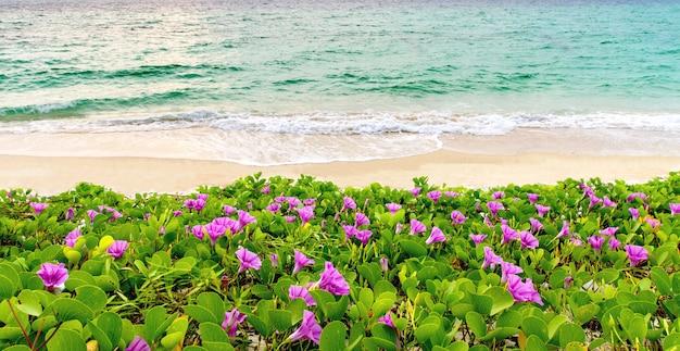 Flores cor de rosa (ipomoea pes-caprae) e praia no nascer do sol da manhã